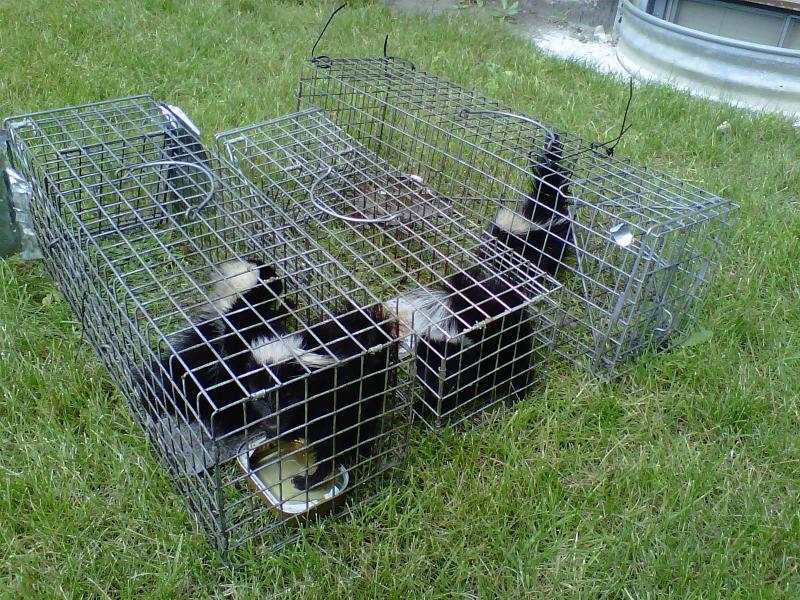 Skunk Trapping Illinois