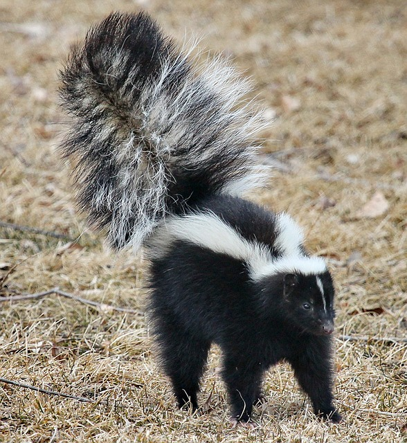 nuisance skunk in Grass Lake Illinois