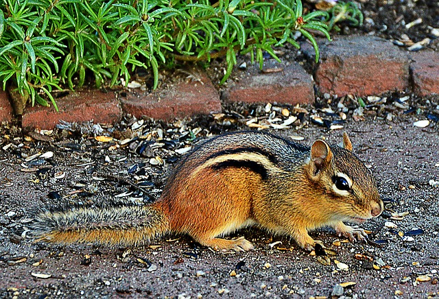 chipmunk removal services