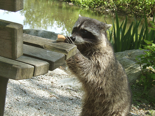 raccoon extermination near me
