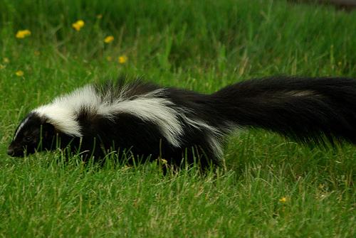 Raccoon Removal Near Me