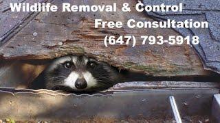 Humane Barrington IL. Raccoon Removal